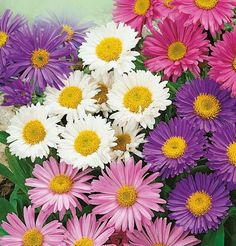 A perennial flowering plant years at the same place) grows cm in. Beautiful purple, pink and white flowers, diameter cm in. Perennial Flowering Plants, Flowers Perennials, Planting Flowers, Pink And White Flowers, All Flowers, Beautiful Flowers, Paper Flowers, Flower Seeds, Flower Pots