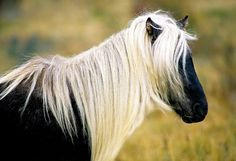 Chincoteague Wild Pony