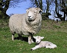 Hardy Sheep Breeds | Livestock Breeds, cattle, sheep and pigs