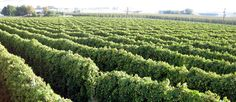 Hop Production | Roy Farms - including Low Trellis growing information