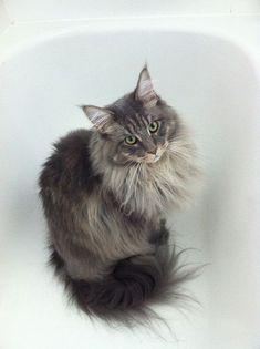 Gigi - Blue Tabby Maine Coon | Flickr - Photo Sharing! http://www.mainecoonguide.com/characteristics/