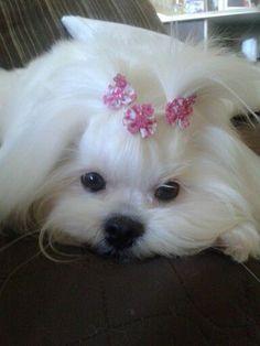 My princess #maltese
