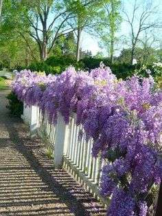~ Williamsburg, Virginia ~ Wisteria growing along the pretty white Picket Fence (note; full sun)