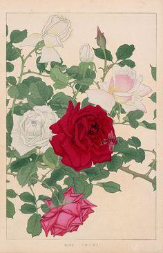 Rose from Chigusa Soun Flowers of Japan Woodblock Prints 1900 Rose Illustration, Japanese Illustration, Botanical Illustration, Japanese Art Styles, Japanese Prints, Korean Painting, Japanese Painting, Botanical Drawings, Botanical Art