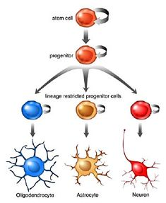 Neurogenesis in Adult Brain Step Into the Future with Nootropics at http://www.failedmemory.com