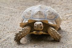 Knowing your turtle's age is an important prerequisite for proper care. How you take care of him should vary according to his stage of development. American Curl, Chow Chow, Chat Somali, Grand Chat, Cute Tortoise, Chat Maine Coon, Les Reptiles, Tortoises, My Animal