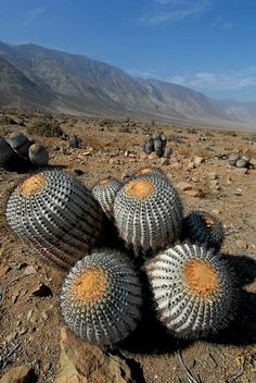 Gorgeous colony of ferocactus pilosus var pringlei for Feroxcactus chile