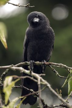 Cute black bird with tilted face expression