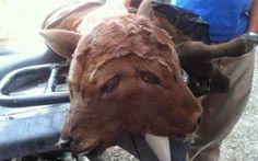 Bezerro de duas cabeças foi encontrado em pasto de fazenda norte-americana | S1 Notícias
