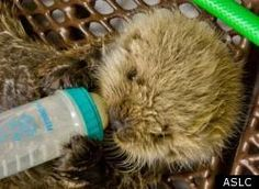 3 week SEA Otter rescued after death of Mom  YEAH!!!