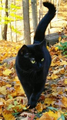 Such a sleek looking black cat. - - - Such a sleek looking black cat. – – Such a sleek looking black cat. Beautiful Cats, Animals Beautiful, Cute Animals, Wild Animals, Baby Animals, Cute Kittens, Cats And Kittens, Siamese Cats, Kitty Cats