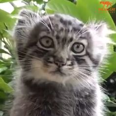 Palla's Cat kittens.so cute ❤️😻❤️ Cute Baby Cats, Cute Funny Animals, Cute Baby Animals, Felis Manul, Caracal, Rare Animals, Animals And Pets, Pallas's Cat, Small Wild Cats