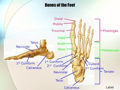 four parts of deltoid ligament - Google Search ...