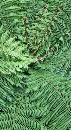 Tree fern - NZ Tree Fern, Spiral Pattern, Unusual Plants, Gifts For Photographers, Square Photos, Flash Photography, Photo Checks, Patterns In Nature, Shade Garden