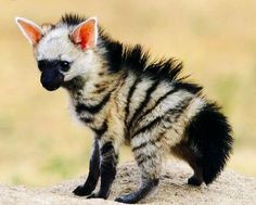 A young Aardwolf. The smallest member of the hyena family feeds on termites and other insects.