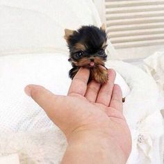 26 Teeny Tiny Puppies Guaranteed To Make You Say Awww! Question: Who loves tiny puppies? Correction: Everyone! Everyone loves tiny puppies! Baby Animals Pictures, Cute Animal Pictures, Animals And Pets, Animals Planet, Fluffy Animals, Puppy Pictures, Farm Animals, Tiny Puppies, Cute Dogs And Puppies