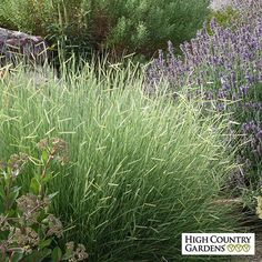 Exclusive. Blonde Ambition is a native grass with a completely new look. The horizontal eyelash-like chartreuse flowers appear in mid-summer and  age to blonde seed heads by fall. They are held on the plant right through the winter to provide many months of ornamental interest. Drought resistant/drought tolerant plant (xeric).
