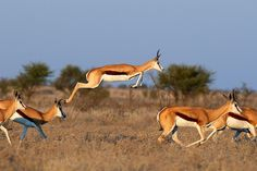 Springbok Antelope, 3rd Fastets Land Mammal