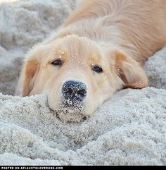 Adorable Golden Retriever - A Place to Love Dogs