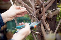 Krátky fotopostup: Rez vistérie pred sezónou | Záhrada.sk Magazine, Garden, Garten, Magazines, Gardens, Tuin, Yard