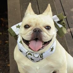 HELLO!, French Bulldog