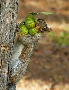 Meins meins meins....Eichhörnchen Herbstglück! Für Euch gefunden bei pixiewinksfairywhispers.tumblr.com