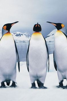 "Emperor penguins ... discussing plans for this winter ... ""Same as last year?"" ... ""Sounds good to me."" ... ""No... No, I think I'm going to migrate somewhere this year."""