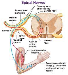 Spinal Nerve