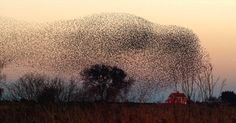 Starling Murmurations - Visit Somerset England