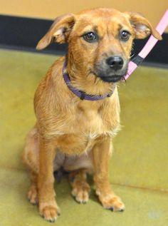 #adoptdontshop Dora Border Terrier Mix • Baby • Female • Small Greater Charlotte SPCA Charlotte, NC