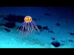 В Марианской впадине учёные обнаружили неизвестный науке вид медуз | Obsudi.net
