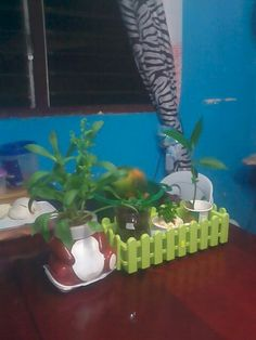 Aster Plant, Calamansi and Breadnut Seedlings on top of my dining table.