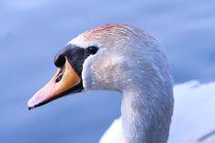 Swan noise.