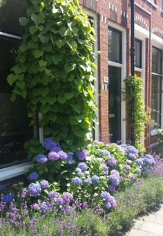 The green garden, a front yard. If there is a wide sidewalk, it can … – Growing Lavender Gardening - Growing Plants at Home Small Gardens, Outdoor Gardens, Garden Cottage, Home And Garden, Hortensia Hydrangea, Hydrangeas, Growing Lavender, Green Garden, Garden Styles