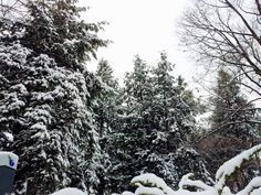 Snow covered pines 2013