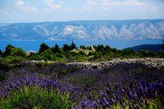 The Lavendar fields of Hvar, Dalmatia (reach via boat from Split, Croatia)