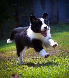 Photo : Le border collie est un chien difficile à maîtriser