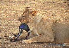 The lion that stole a Canon 5D MkII