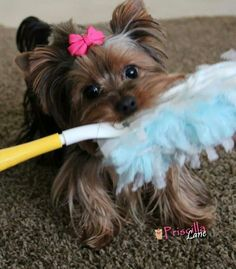 """Hey, I'm not dusty!  #dogs #pets #YorkshireTerriers Facebook.com/sodoggonefunny"
