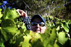 Grapes.  Harvest at Milvine Estate Heathcote Victoria Australia