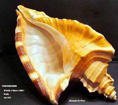 Cymatium raderi