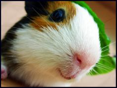 Percy! Not again! Why do you keep getting turned into a Guinea pig?!