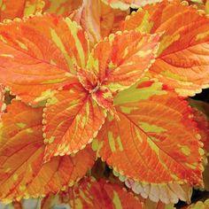 "Coleus ""Freckles"" https://www.houseplant411.com/houseplant/coleus-how-to-grow-care-tips"
