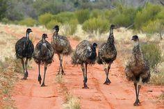 Emus - Outback Australia