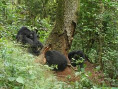Nshongi family of wild Mountain Gorillas at Bwindi Impenetrable, Uganda. Amazing moment. Our honeymoon ♡