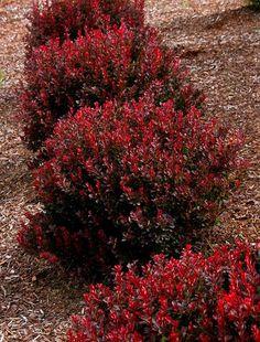 Red Shrubs for Landscaping . Red Shrubs for Landscaping . Shiny Deep Red Leaves Cover the Naturally Dense Globe Shrubs For Landscaping, Low Maintenance Landscaping, Low Maintenance Garden, Garden Shrubs, Flowering Shrubs, Lawn And Garden, Landscaping Ideas, Garden Tips, Red Shrubs