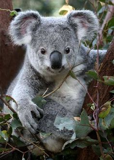 Get free Outlook email and calendar, plus Office Online apps like Word, Excel and PowerPoint. Sign in to access your Outlook, Hotmail or Live email account. Nature Animals, Animals And Pets, Cute Baby Animals, Funny Animals, Koala Marsupial, The Wombats, Australia Animals, Tier Fotos, Cute Animal Pictures
