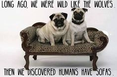 """Visit our internet site for more info on """"pug puppies"""". It is an excellent place to read more. Animal Memes, Funny Animals, Cute Animals, Animals Dog, Pug Pictures, Pug Pics, Dog Photos, Fu Dog, Pug Puppies"""