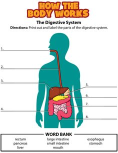Digestive System Worksheet | CC C3 | Pinterest | Worksheets, Human ...