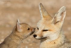 "Mothers Day Post by Hendri Venter on 500px. ""Cape Foxes, Kalahari Desert, South Africa"""